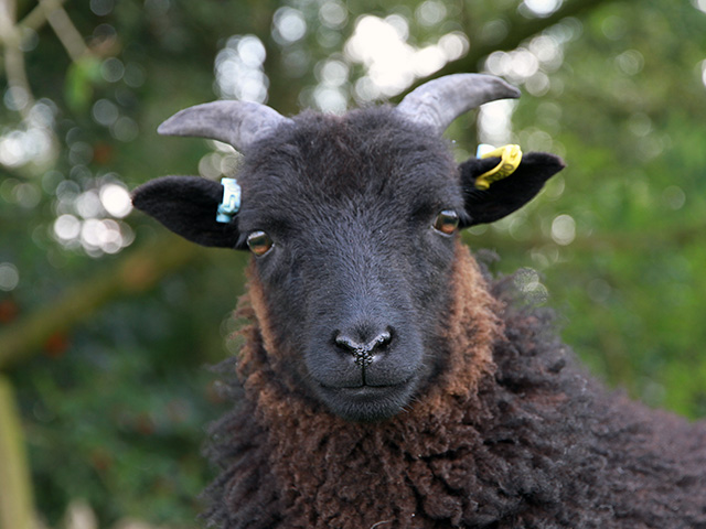 Hebridean Sheep at Gam Farm Rare Breeds