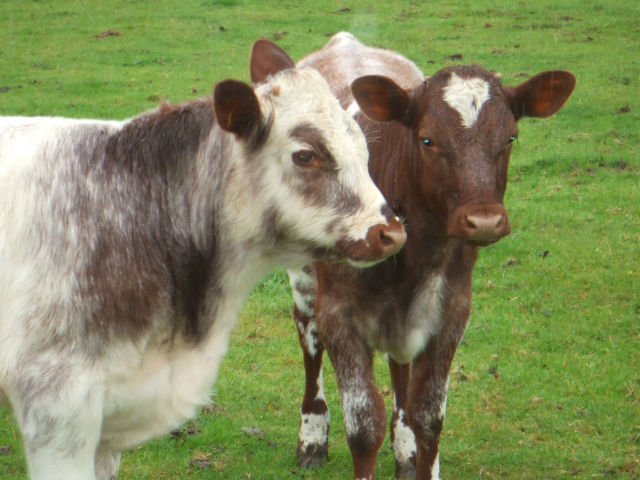 Image of Hebridean Shorthorn cattle