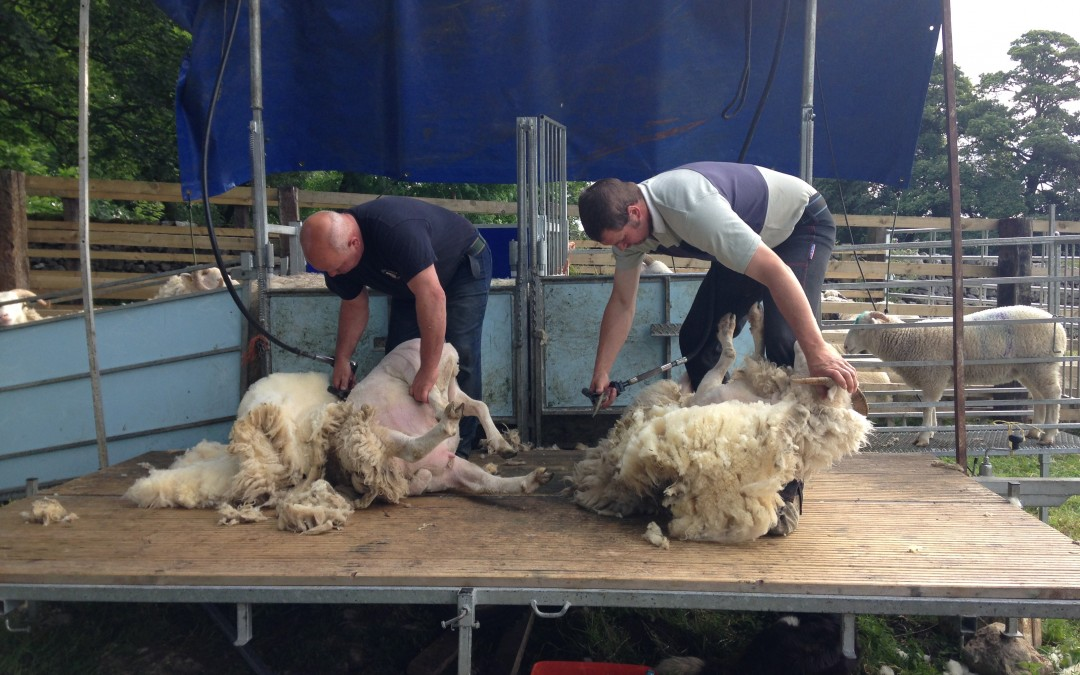 Shearing time at Gam Farm