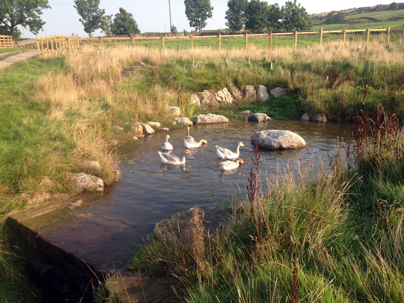 Geese on the pond at Gam Farm