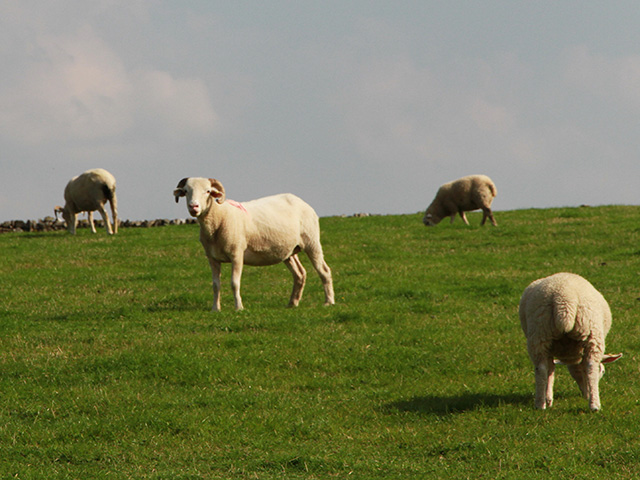 Image of Whitefaced Woodland Sheep