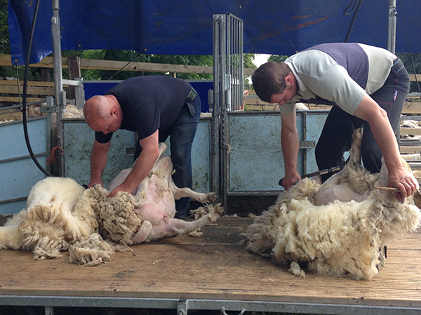 Sheep shearing at Gam Farm