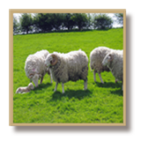 Wool story, from farm to shop - click to read more